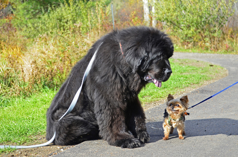 What Is The Largest Domestic Dog Breed In The World